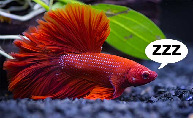 Does your betta sleep? How to catch your Betta snoozing!