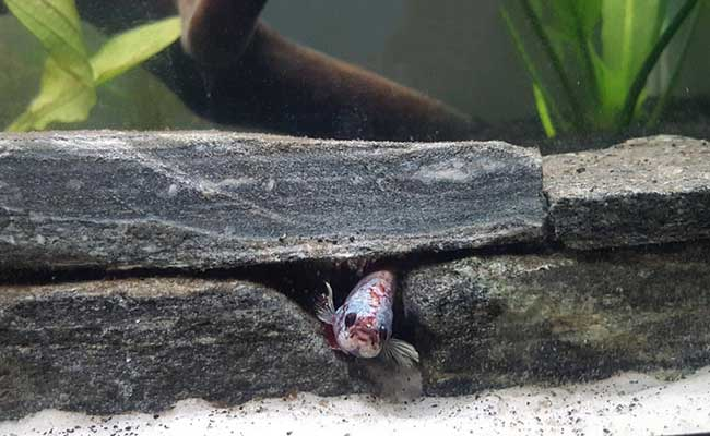 Betta fish sleeping inside wall of rocks