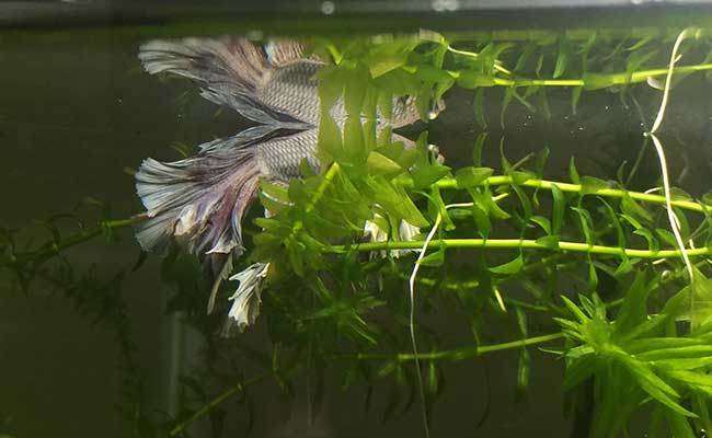 Betta fish sleeping on the leaves of an aquarium plant