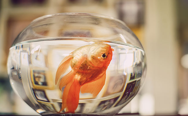 Dead goldfish floating belly up in glass fish bowl