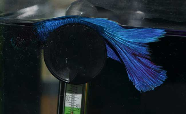 Does Your Betta Fish Sleep How To Catch Your Betta Snoozing