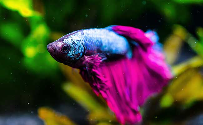 Betta fish sleeping while floating