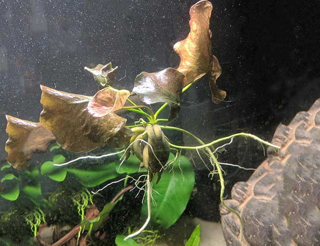 Floating aquarium banana plant with its roots stretching down trying to find substrate