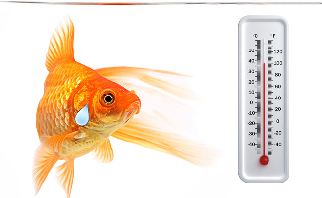 Goldfish in aquarium that is too hot, staring at thermometer and sweating
