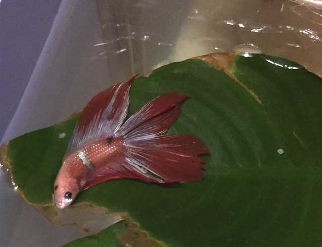 Lazy betta fish sleeping on top of leaf out of water