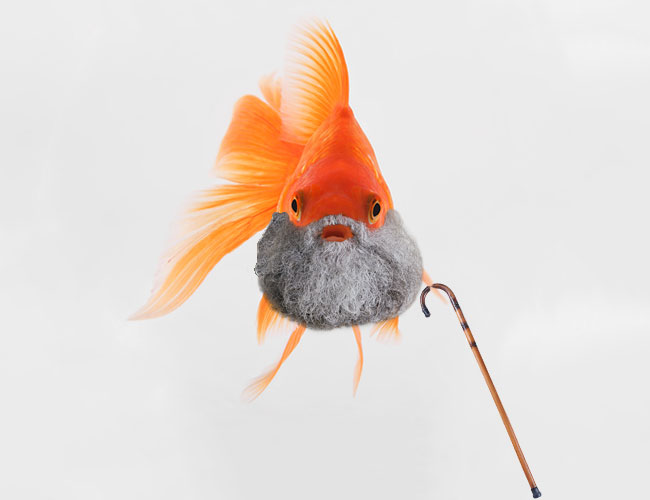 Old fish with gray beard and walking stick in aquarium
