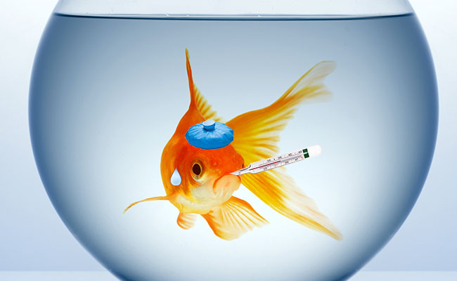 Sick goldfish in fish bowl with thermometer and ice pack