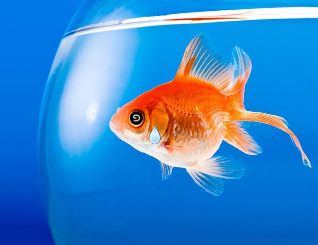 Stressed goldfish in fish bowl that is too small