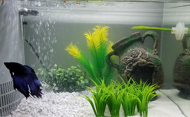 Betta ignoring his new betta hammock placed in aquarium