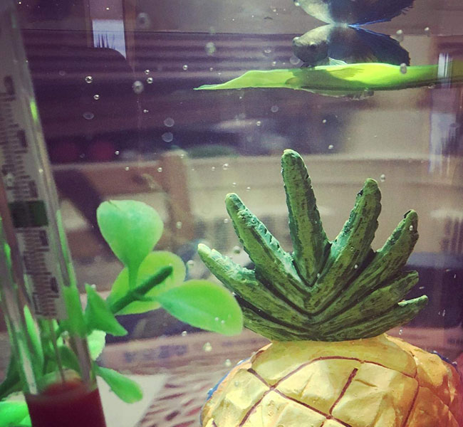 Betta on leaf-style hammock above SpongeBob pineapple and next to aquarium thermometer