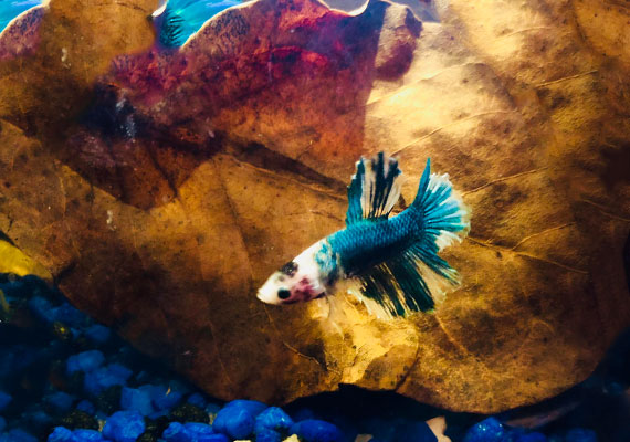 Betta with ragged fins swimming next to Indian almond leaf