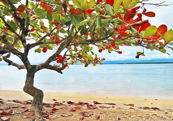 Indian Almond Tree Terminalia Catappa on sandy beach in front of bay