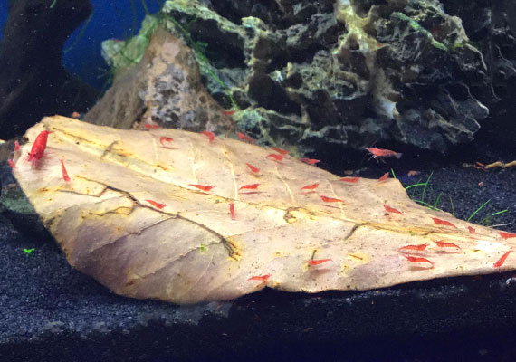Red cherry shrimp swarming over Indian almond leaf at bottom of aquarium
