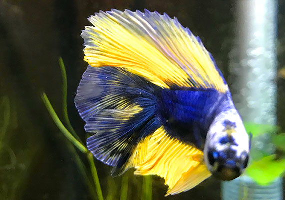 Betta fish with Ich on his fins