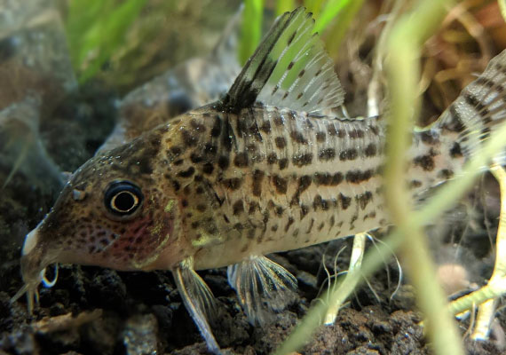 Cory catfish covered in Ich white spots resting on bottom of aquarium