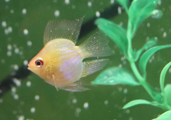 Golden balloon ram with white spots on fins, Ich