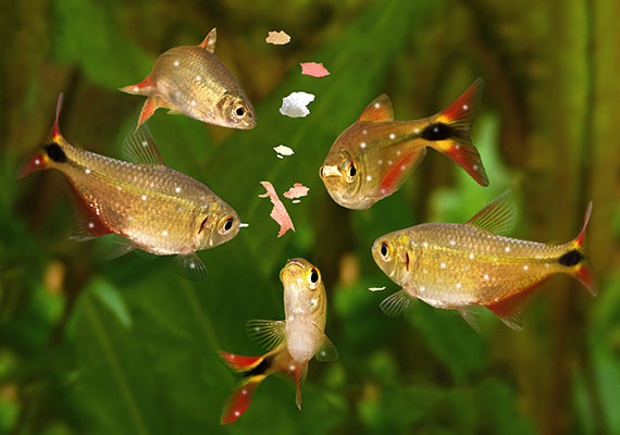 Tetra infected with Ich covered in white spots eating fish food