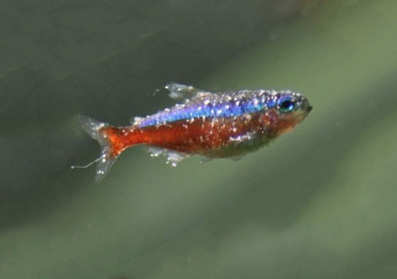 Cardinal tetra dying from Ich covered in white spots