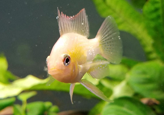 Tropical fish with early signs of Ich identified by white spots on fins