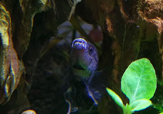 Black betta infected with columnaris mouth infection in aquarium