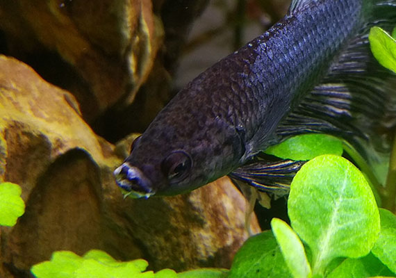 Black Betta infected with columnaris of the mouth side photo