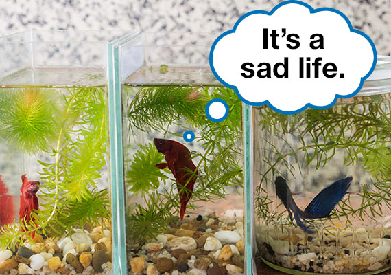Three bettas in jars and tiny tanks that are too small and inhumane