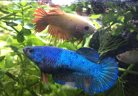 Two female bettas in a 20-gallon planted sorority tank