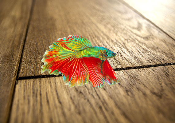 Betta lying on wooden floor after jumping out of tank with no lid