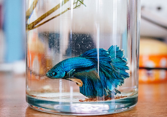 Blue betta fish in a glass jar that is too small