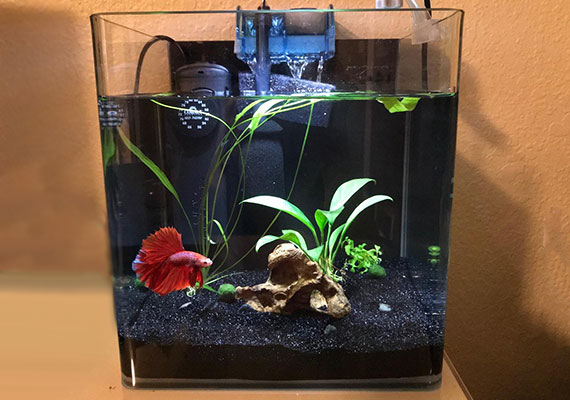 Half-sun betta in 2.5-gallon tank that is too small