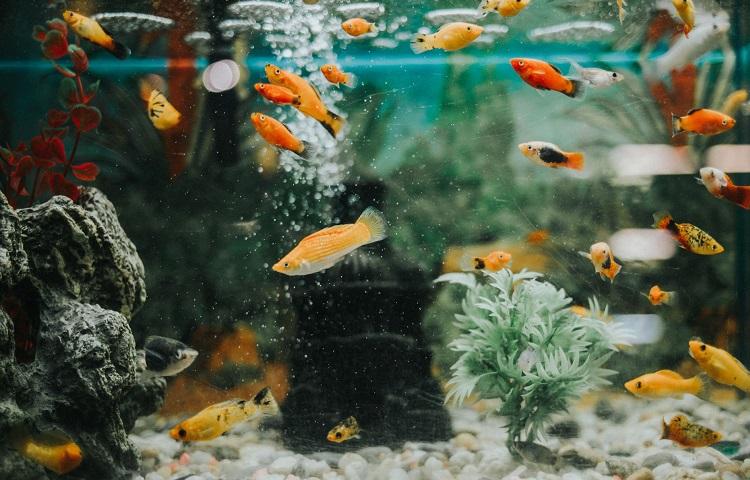 fishes per gallon