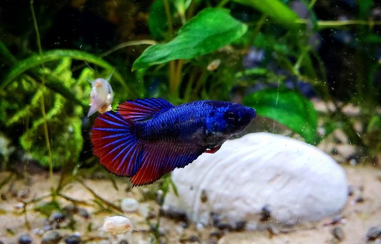lifespan of betta fish