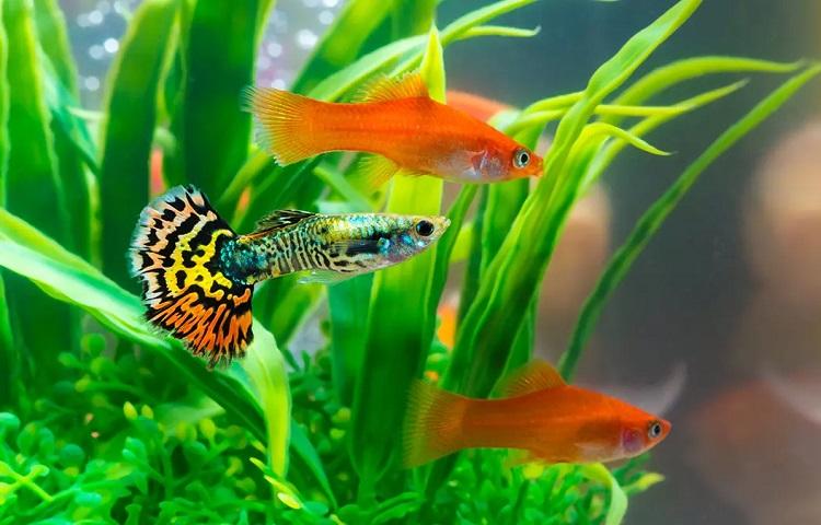 betta with goldfish