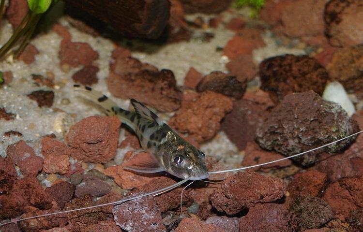 nature of pictus catfish