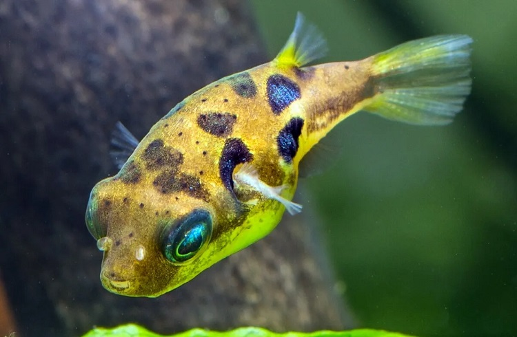 What is a Pea Puffer