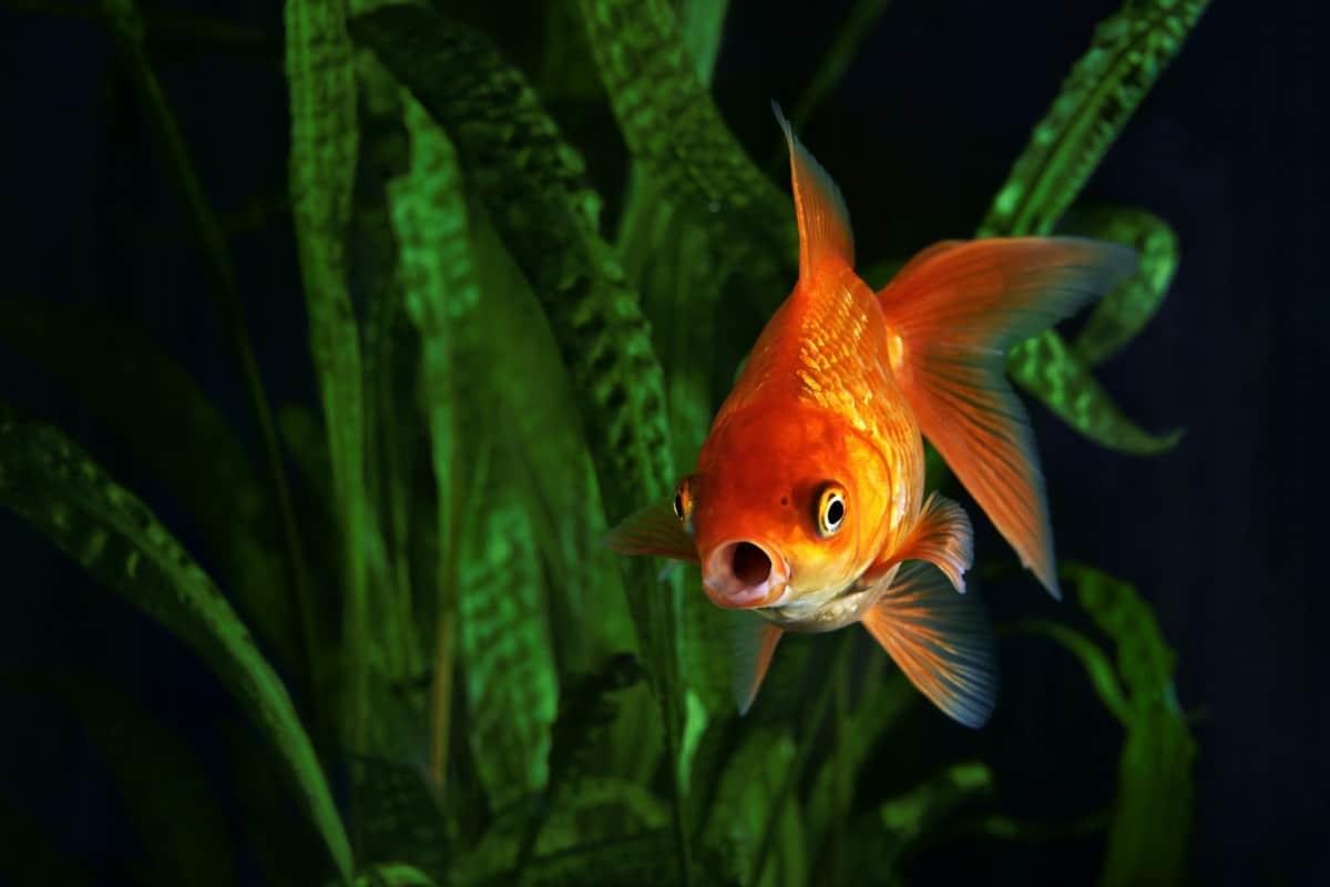 Fish Breathing Underwater