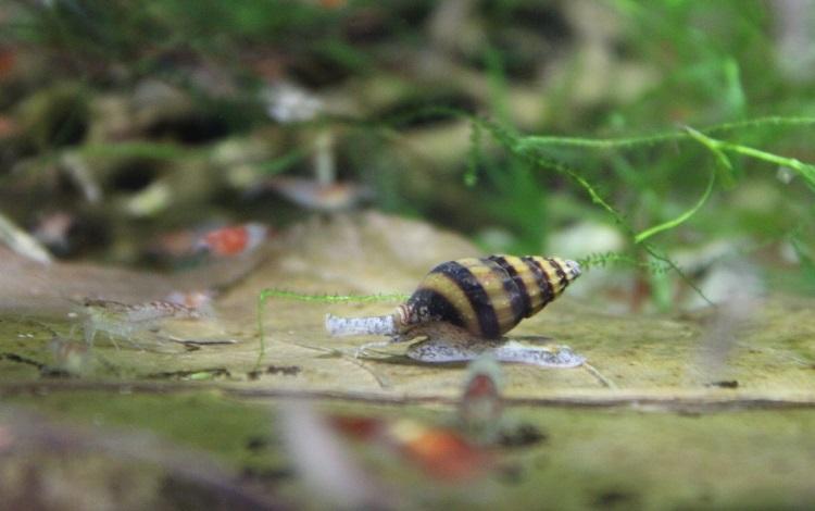 Best Type of Aquarist to Own Assasin Snail