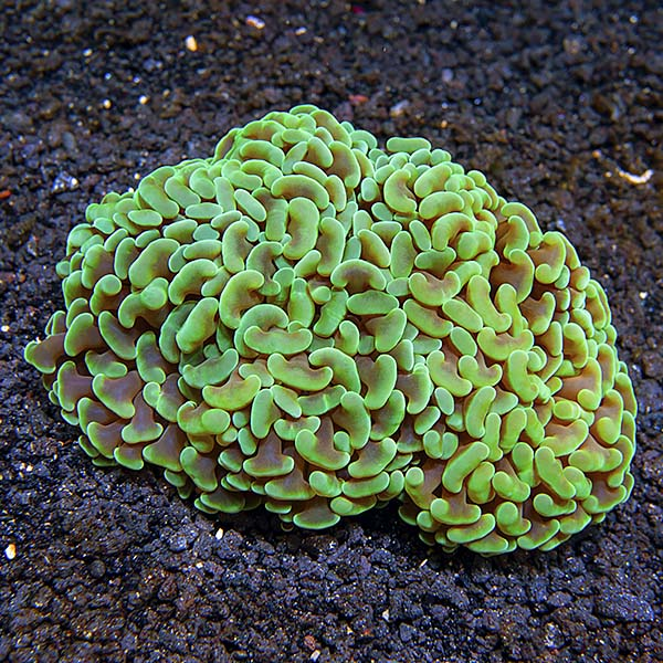 Hammer Coral 2