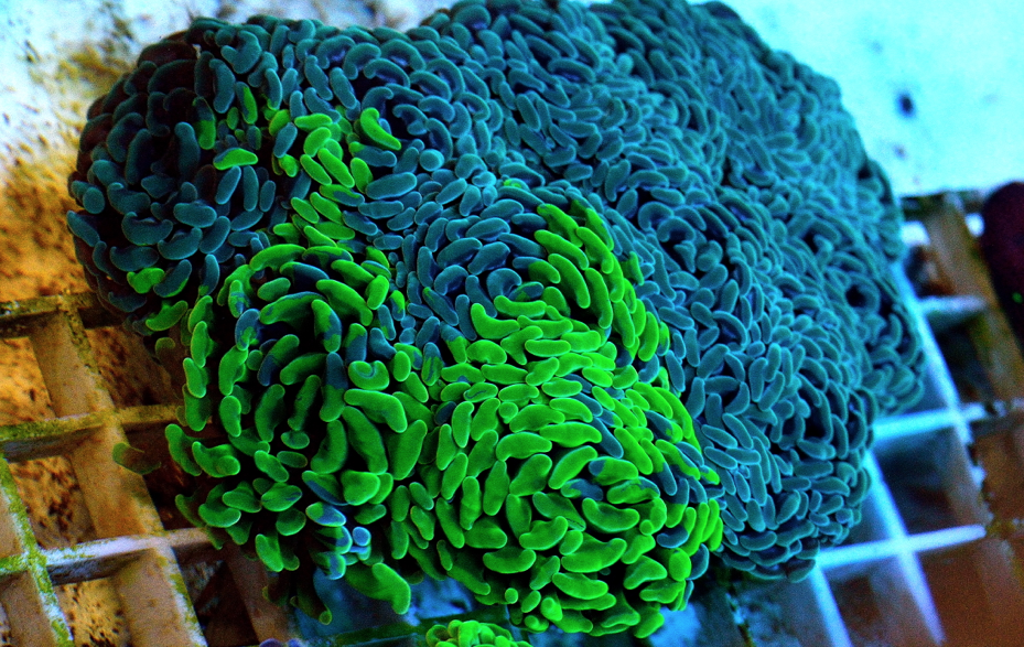 Hammer Coral 4