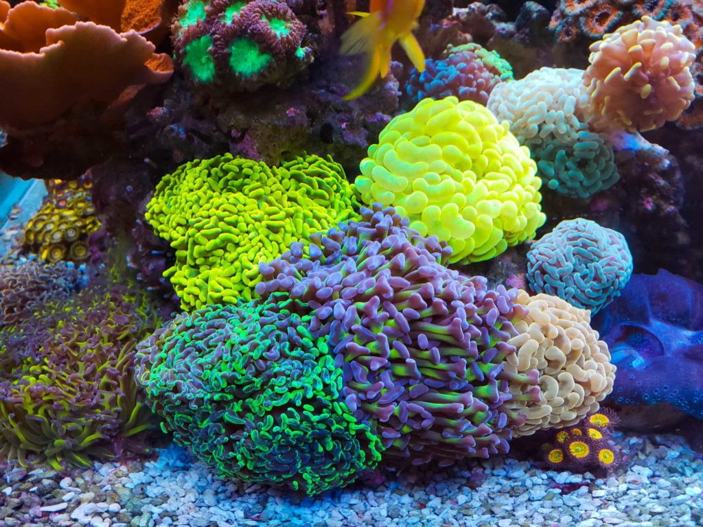 Hammer Coral 5