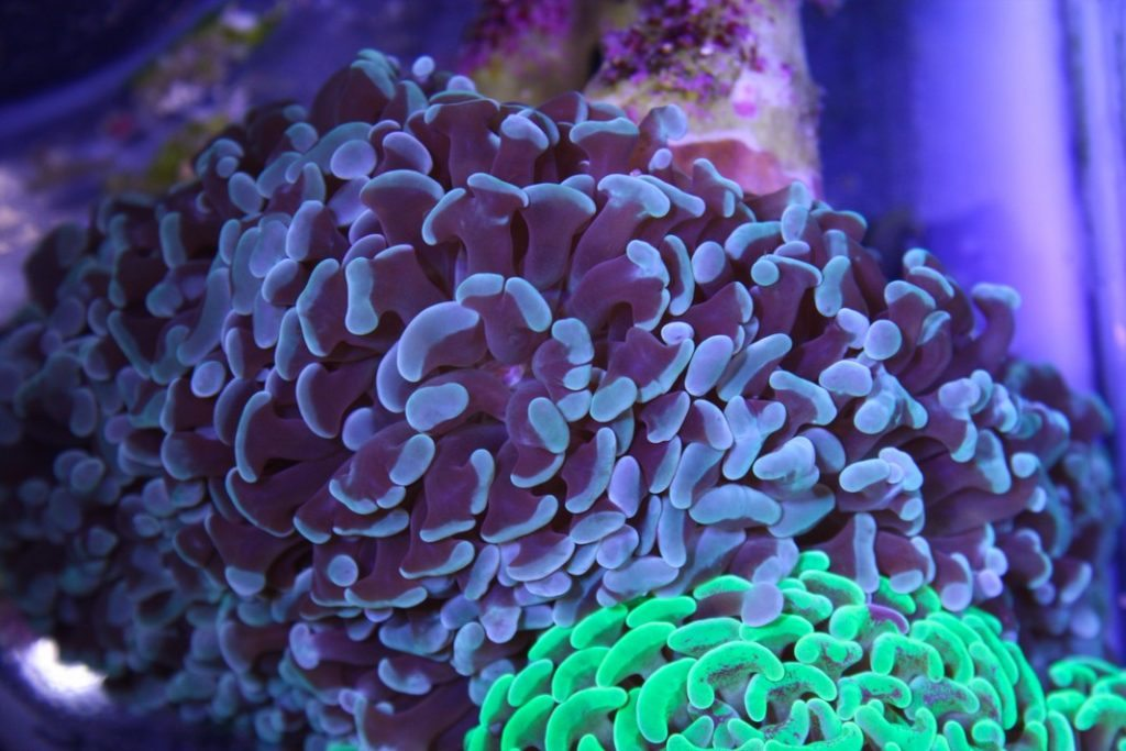 Hammer Coral 6